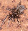 Spider for ID - Amaurobius ferox