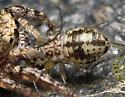 Metylophorus novaescotiae nymph - Metylophorus novaescotiae