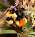 Bumble Bee - Bombus huntii