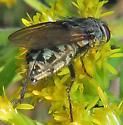 Pollenia - female