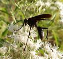 wasp - Sphex pensylvanicus - male