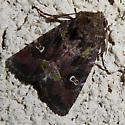 Noctuid - Lacinipolia renigera