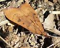 Very flat-looking moth - Uresiphita reversalis