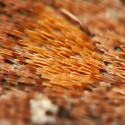 Eupsilia vinulenta