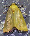 Thioptera nigrofimbria - Marimatha nigrofimbria