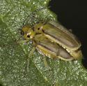 Mating Pair - Trirhabda eriodictyonis - male - female