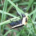 Heavy Flier - Necrophila americana