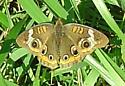 I was stalking it. - Junonia coenia - male