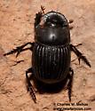 Dung Beetle - Copris lecontei
