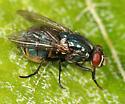 green fly - Eudasyphora cyanicolor - female