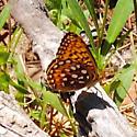 Utah fritillary identification - Speyeria - female