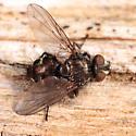 fly - Lypha setifacies - male
