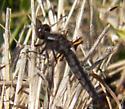 Dark Dragonfly - Ladona deplanata