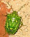 Green bug with yellow markings  - Banasa euchlora