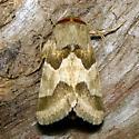 Jaguar Flower Moth - Hodges #11132 - Schinia jaguarina