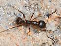 Ant carying larvae - Aphaenogaster