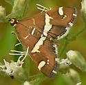 Moth - Spoladea recurvalis