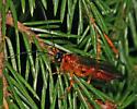 Wasp 4391 - Theronia hilaris - female