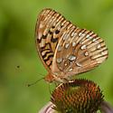 ? fritillary - Speyeria cybele - male