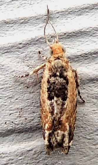 Cotton Tipworm Moth - Hodges#3274 - Crocidosema plebejana