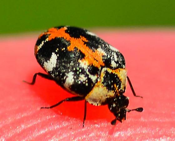 tiny black white and red beetle - Anthrenus scrophulariae