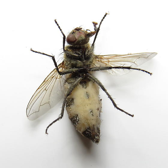 Fungus covered fly - Pollenia pediculata - female