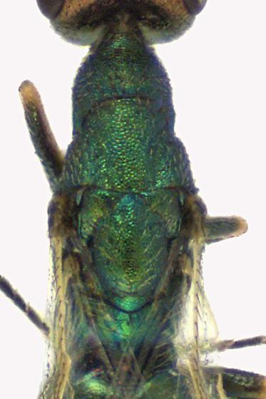 Chalcid Wasp - Platynocheilus