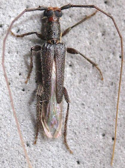 bicolor? - Styloxus bicolor