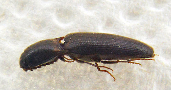 click Beetle 8 - Megapenthes rufilabris