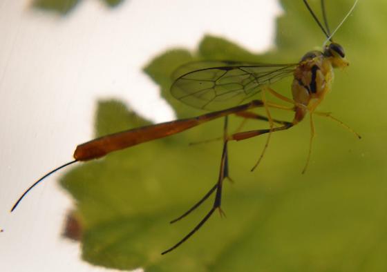 Ichneumon Wasp - Eiphosoma - female