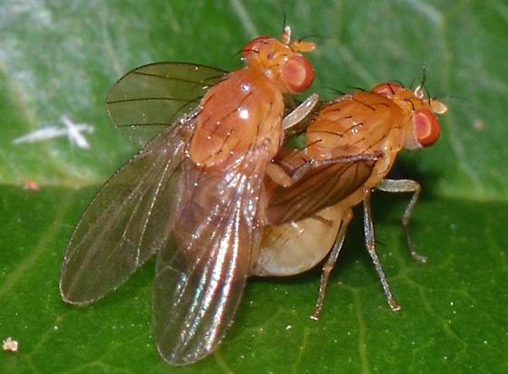 making more flies - Neogriphoneura sordida