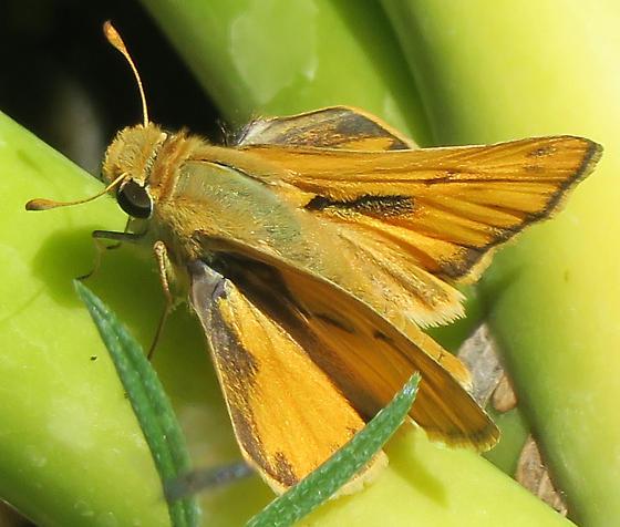 Fiery Skipper 1 - Hylephila phyleus