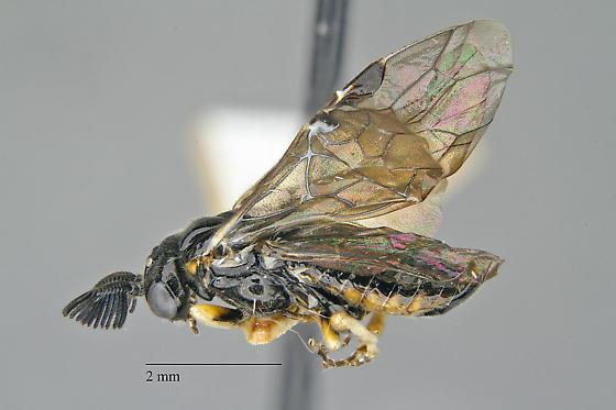 Monoctenus
