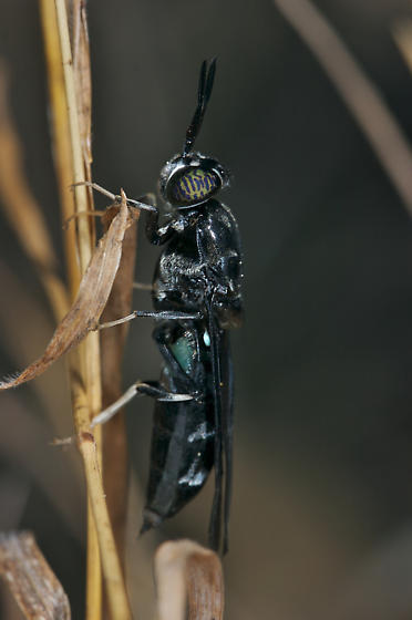 Black fly - Hermetia illucens - female