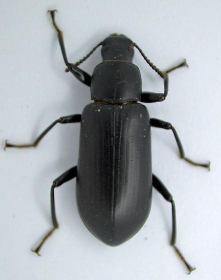 Beetle - Alobates pensylvanicus