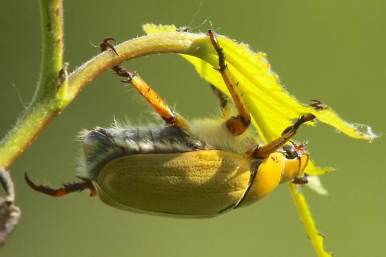 beetle on aspen - Cotalpa lanigera
