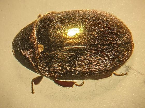 Morychus oblongus