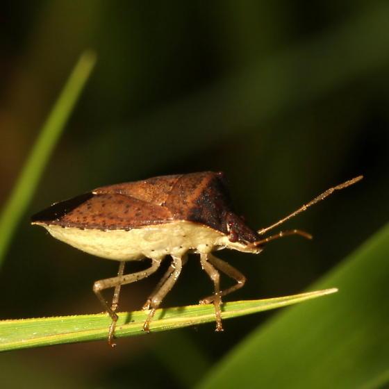 Pentatomidae - Euschistus obscurus