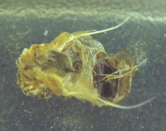 Forked Fungus Beetle larva - Bolitotherus cornutus - female