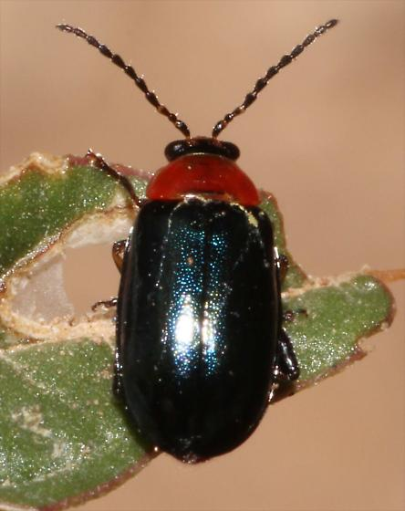 Red and blue Beetle - Disonycha politula