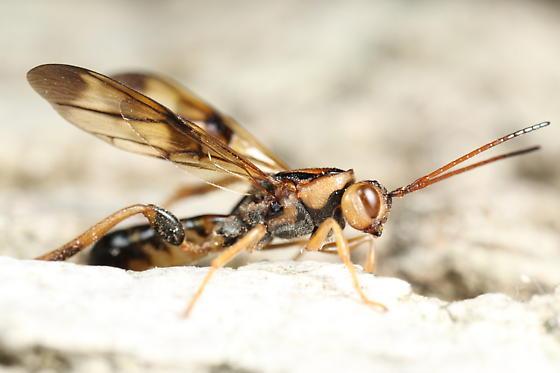 Wasp - Ibalia anceps