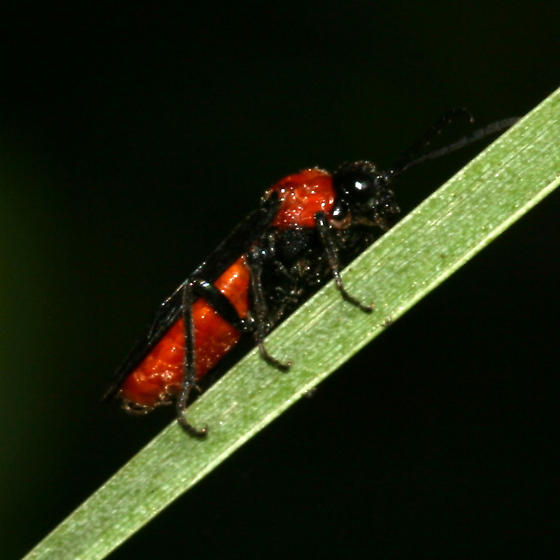 unidentified sawfly species - Dolerus tejoniensis