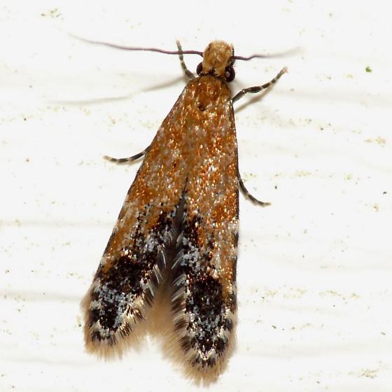 Moth - Homosetia costisignella