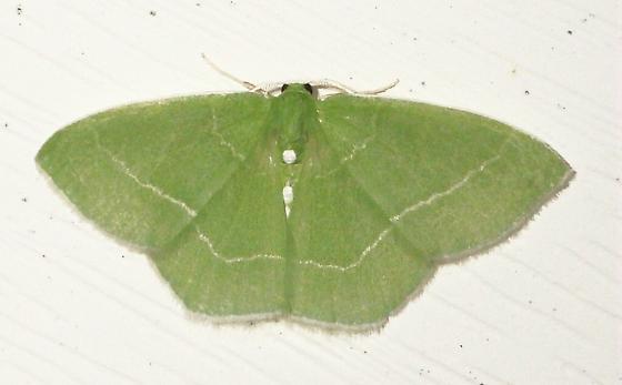 7048 – Nemoria mimosaria – White-Fringed Emerald - Nemoria mimosaria - male