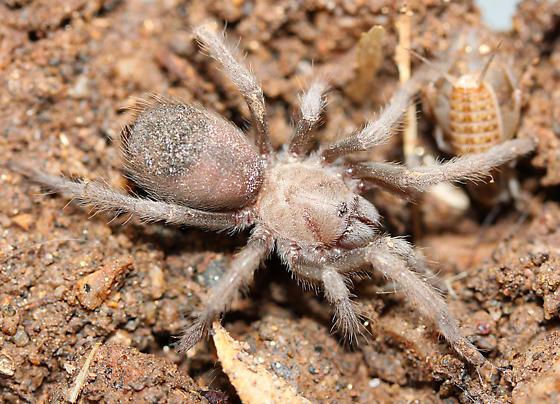 Possible Young Blonde or Hualapi Tarantula in N. Arizona? - Aphonopelma chalcodes