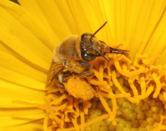 Apidae, face