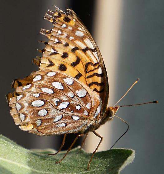 Butterfly - Speyeria aphrodite