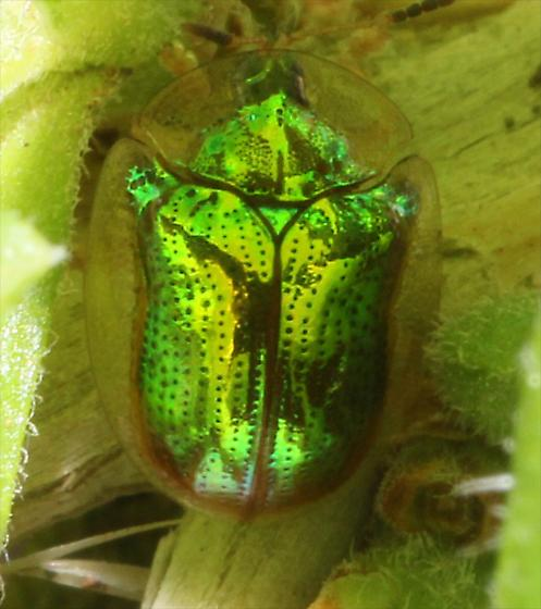 Green Tortoise Beetle - Charidotella succinea