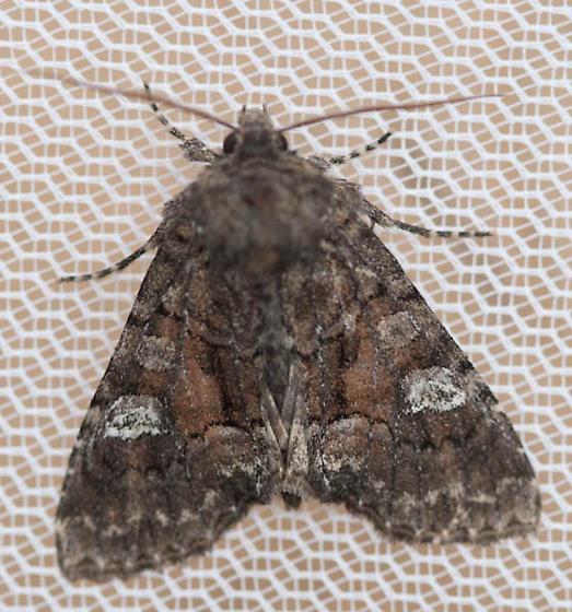 Moth - Fishia illocata