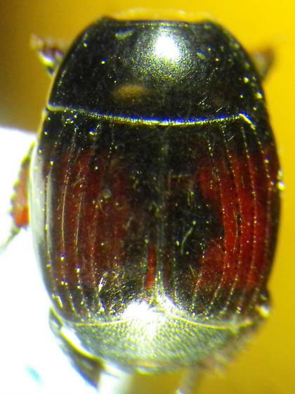 Histerid - Margarinotus purpurascens